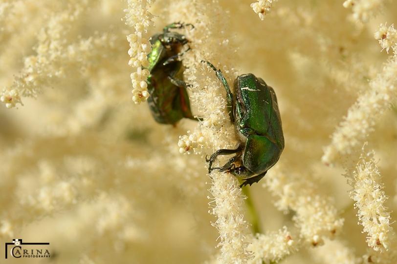 olivgrön guldbagge